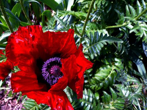 Poppy-single
