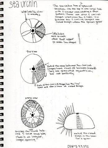Sea-urchin331